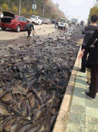 Thousands Of Kilograms Of Catfish Scatter In Kaili
